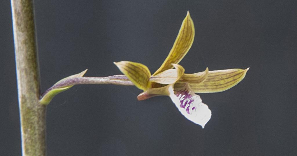 Точка роста орхидеи