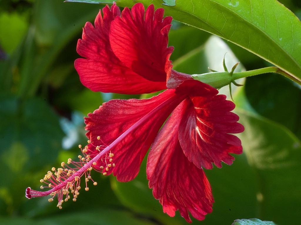 Почему китайская роза - цветок смерти? Описание, суеверия, фото