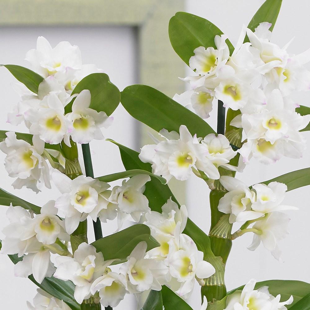 Орхидея Дендробиум Нобиле: уход в домашних условиях, размножение, что делать, после того, как она отцвела