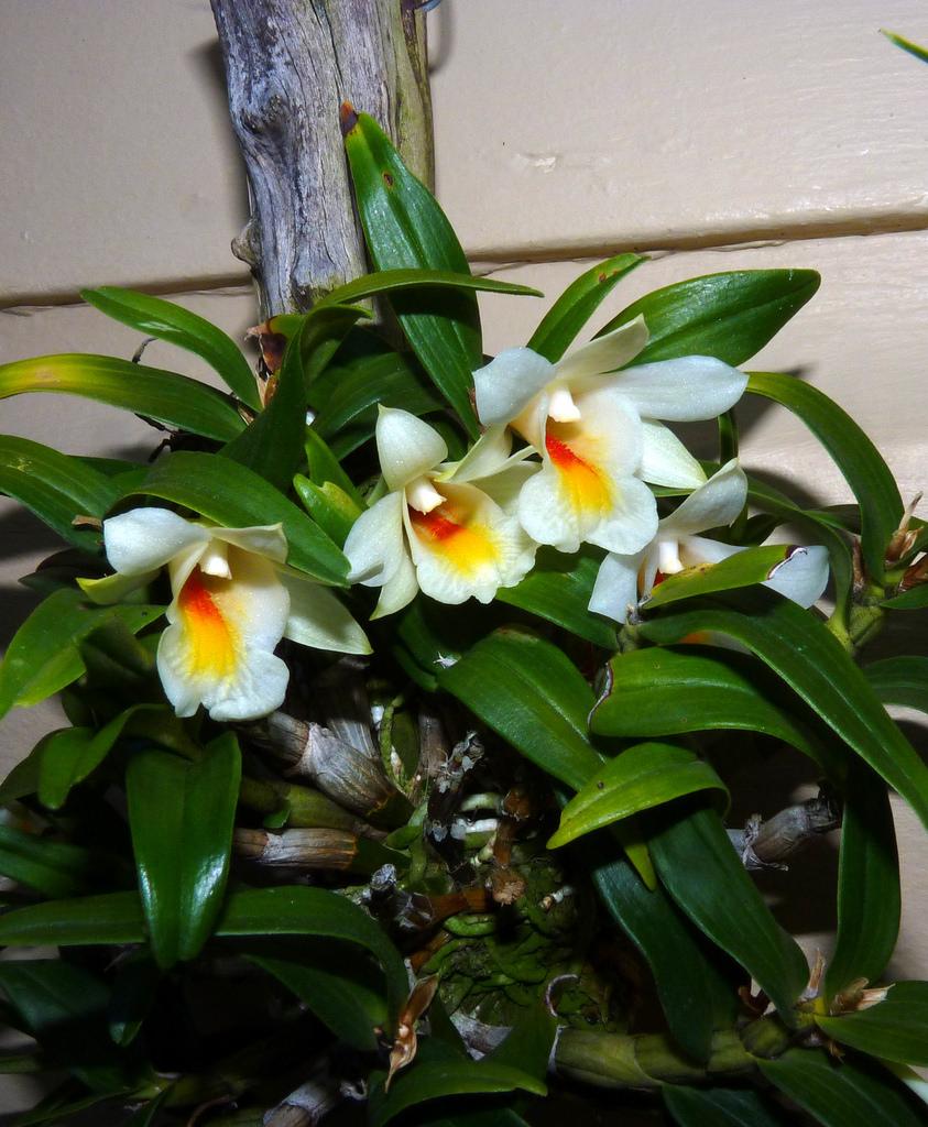 орхидея кристи