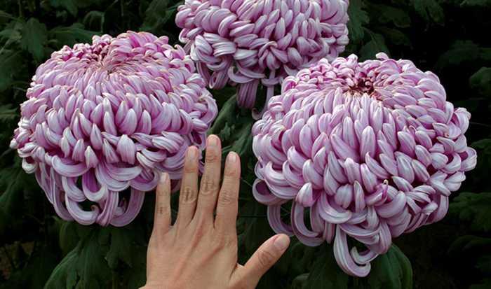 крупные хризантемы