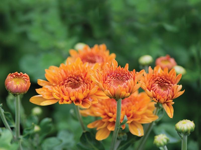 оранжевые цветы