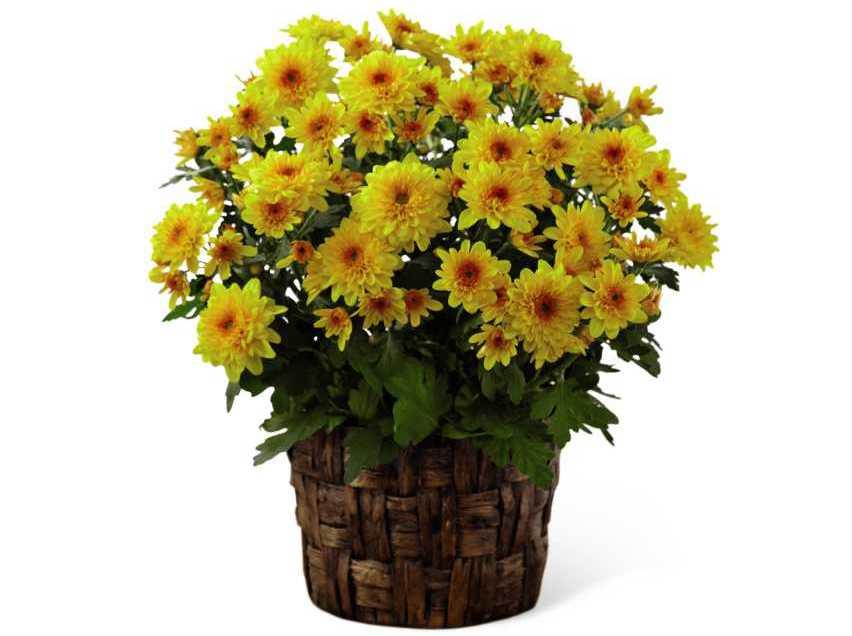 хризантема в горшках