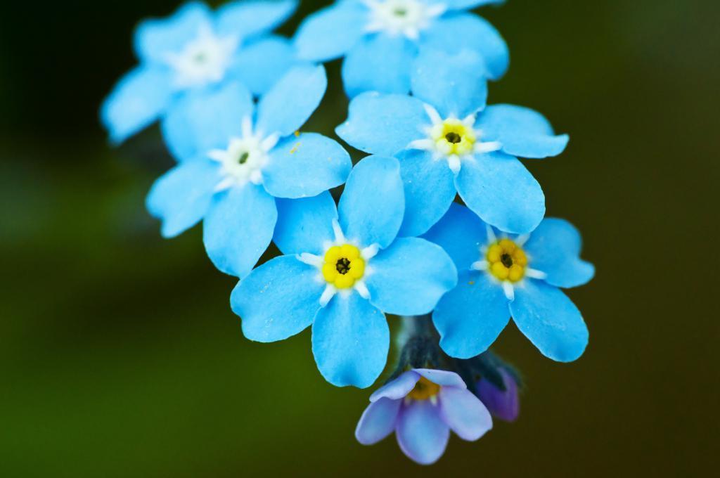 голубые незабудки