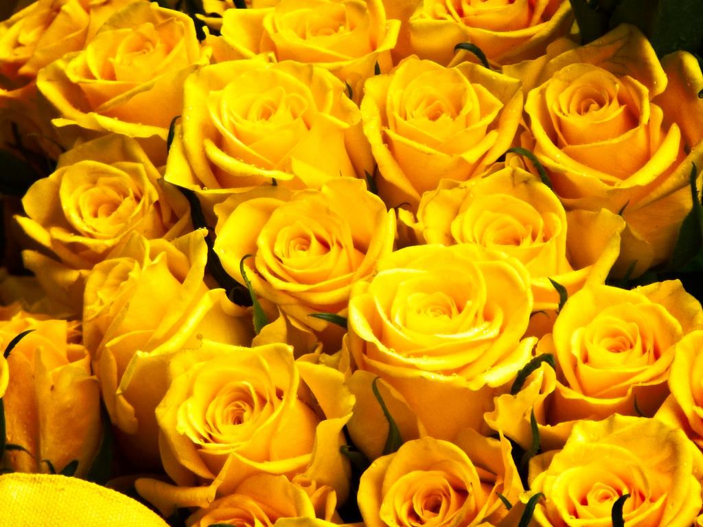 волнистые лепестки миллион желтых роз фото фотографии одной той
