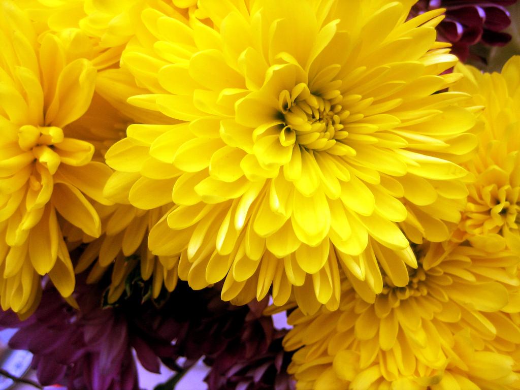 Желтые хризантемы картинки, мастеров открытка февраля