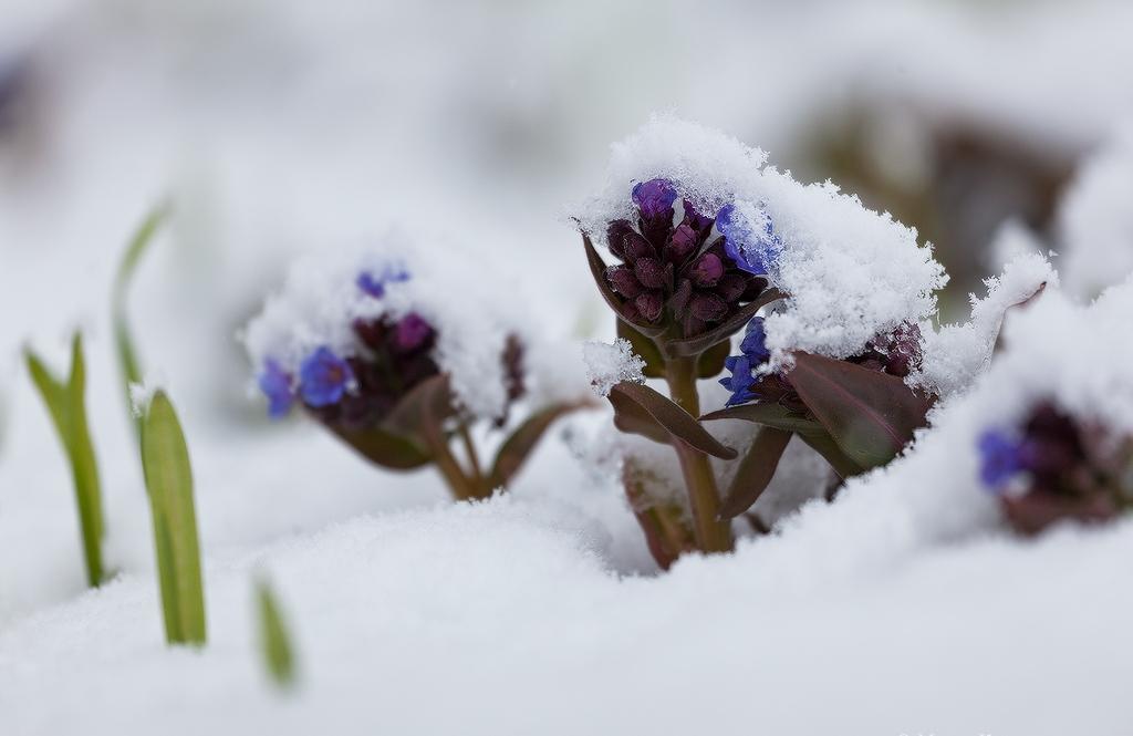 медуница под снегом