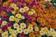 Хризантемы шаровидные посадка и уход в открытом грунте