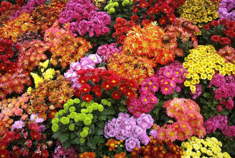 Хризантемы многолетние посадка и уход осенью