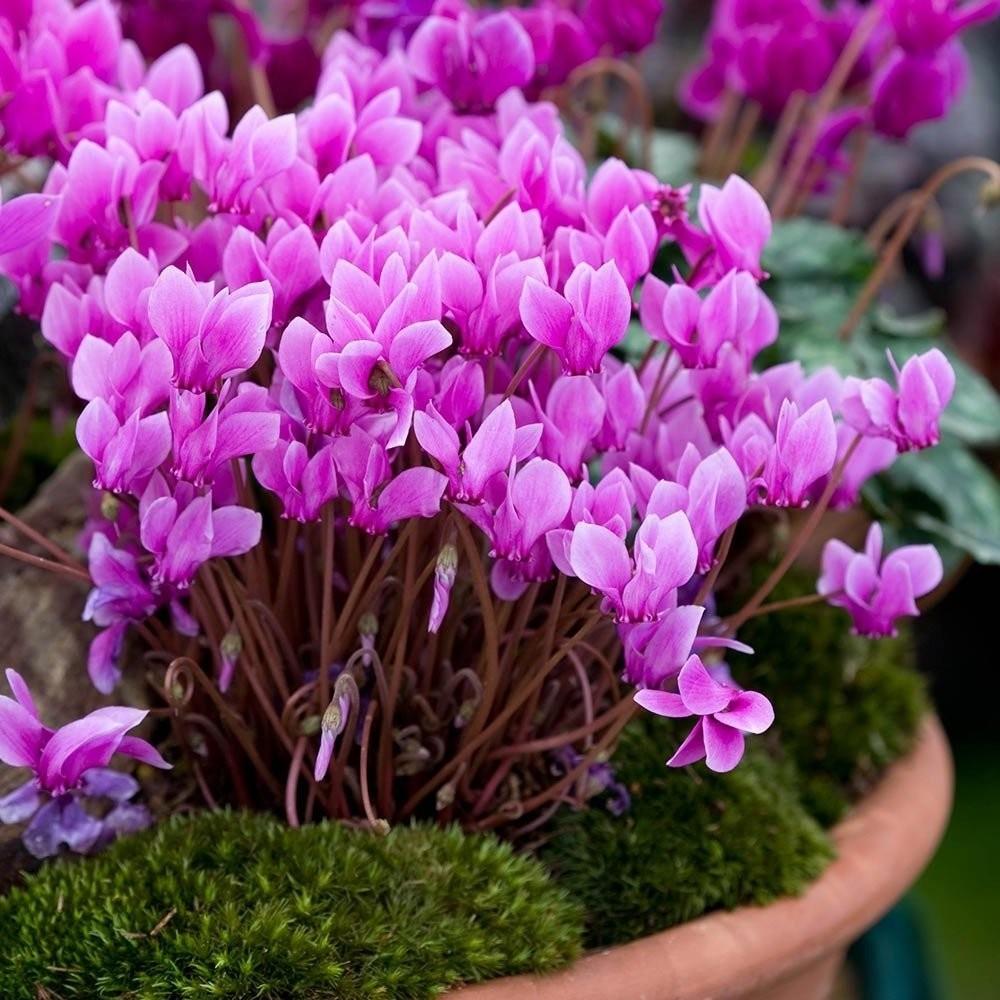 Цветок Цикломения в горшке