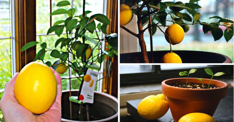 Лимон выращивание и уход в домашних условиях