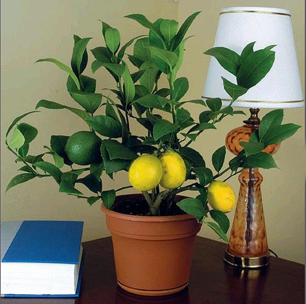 Лимонное дерево уход в домашних условиях отзывы