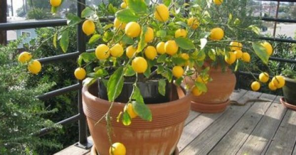 Лимон домашний как ухаживать
