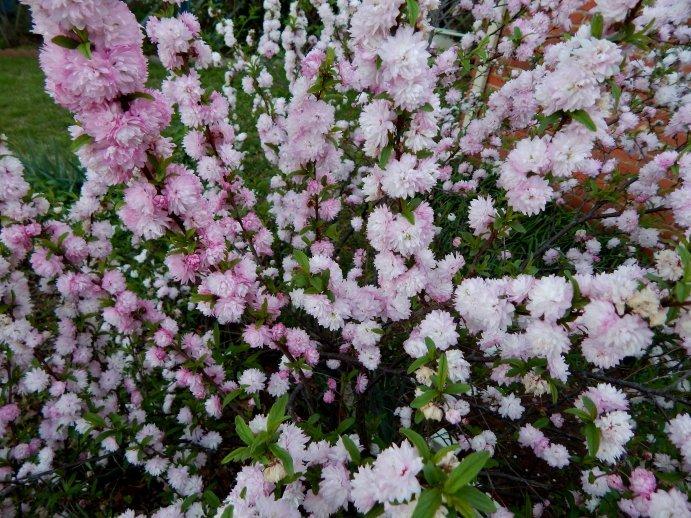 Бело-розовый миндаль