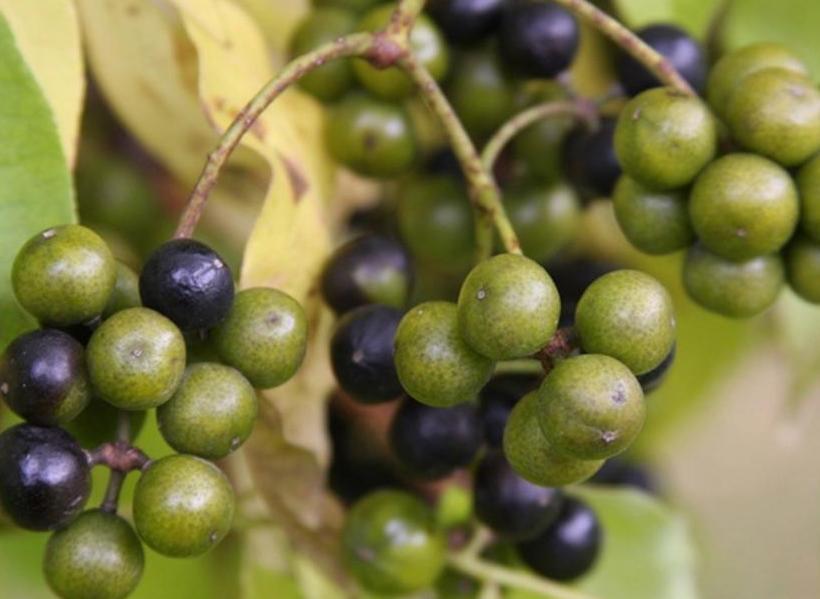 Ягода бархата лечебные свойства