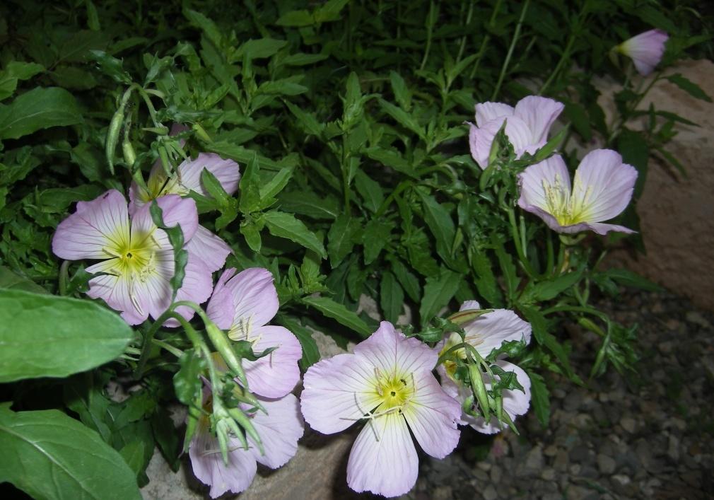 энотера цветок фото