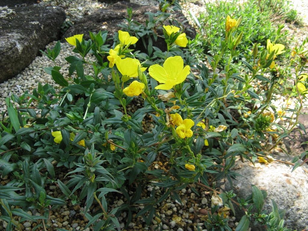 энотера цветы