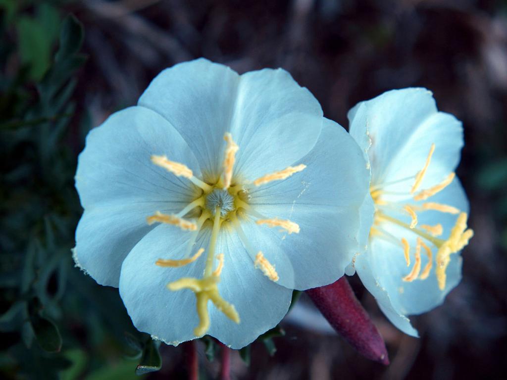 фото цветов энотера