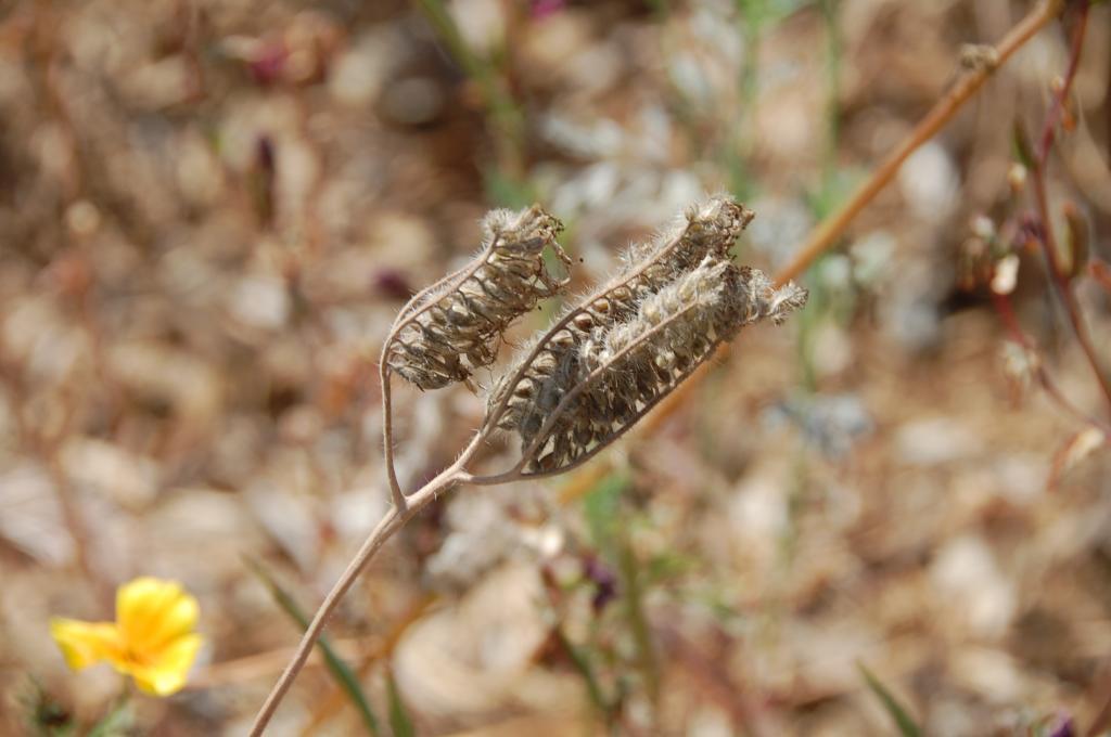 фацелия описание растения фото