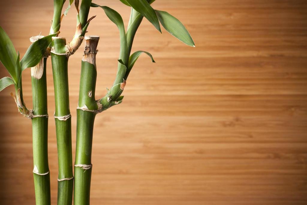 Как посадить бамбук в домашних условиях: выращивание саженцев в горшке, как и когда пересаживать