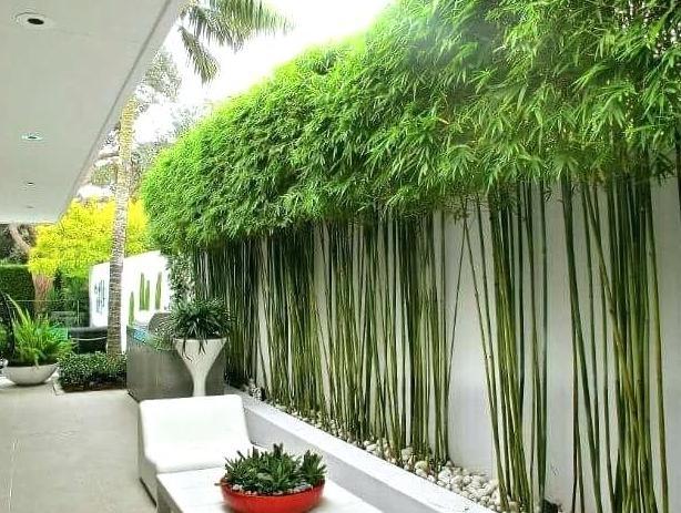 как поливать бамбук