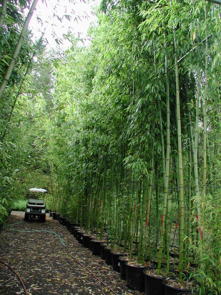Как выращивать комнатный бамбук
