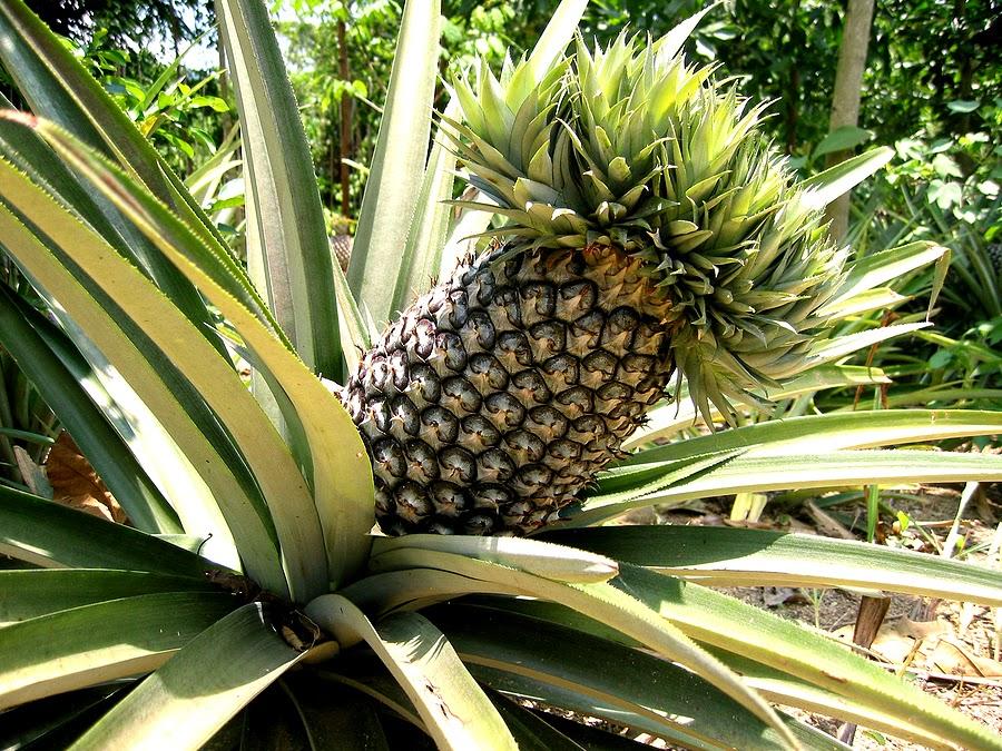 имеет ананас дерево фото изысканный