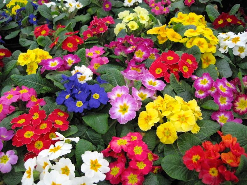 Разноцветные примулы