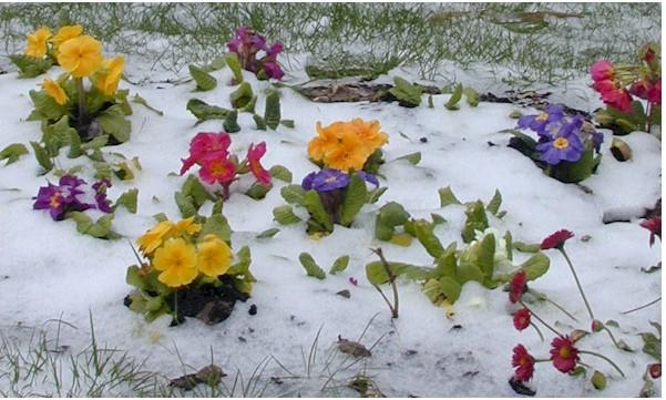 Примула в снегу