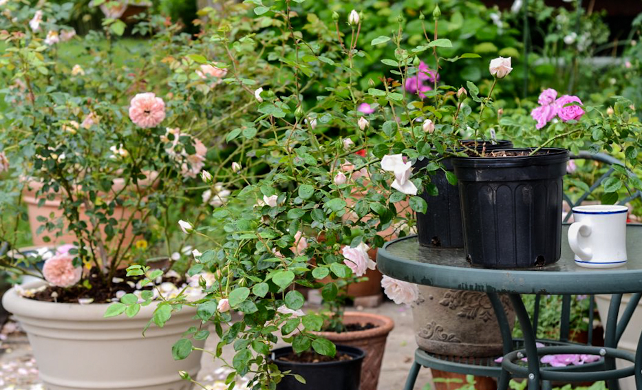 Как вырастить розы черенками