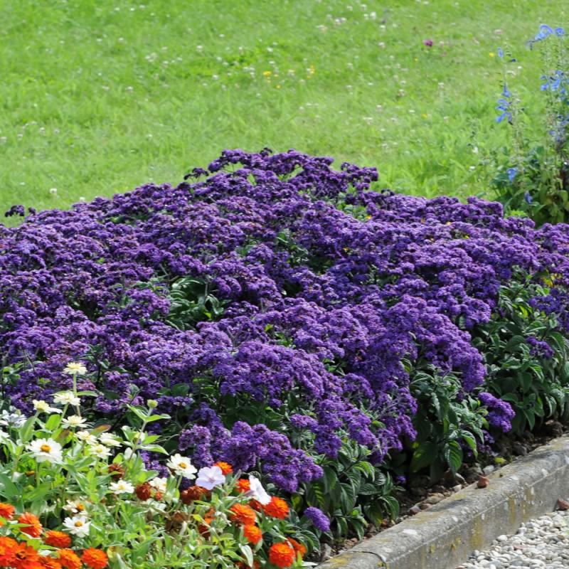 Гелиотроп у бардюра в саду.