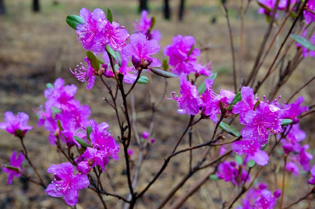 багульник в цвету