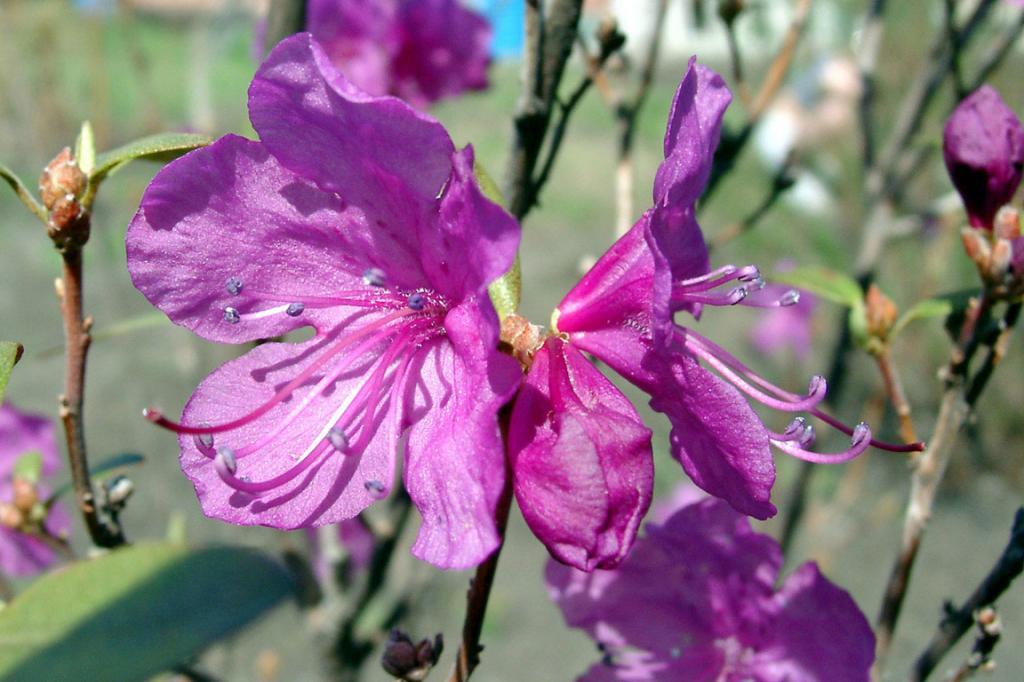 цветение багульника фото