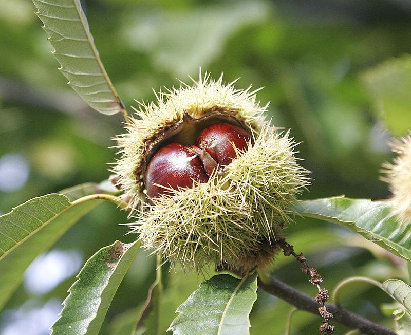 Как цветет каштан дерево
