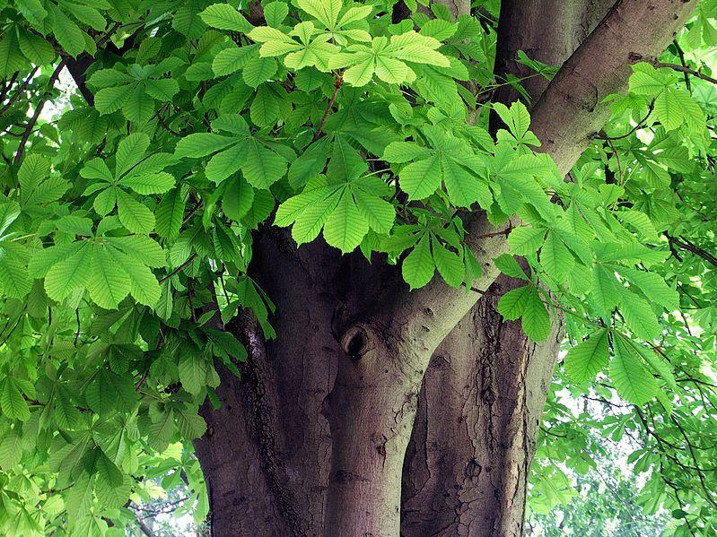 Резные листья каштана