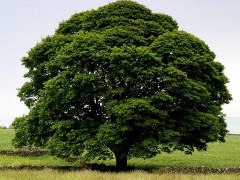 Как выглядит чинара дерево