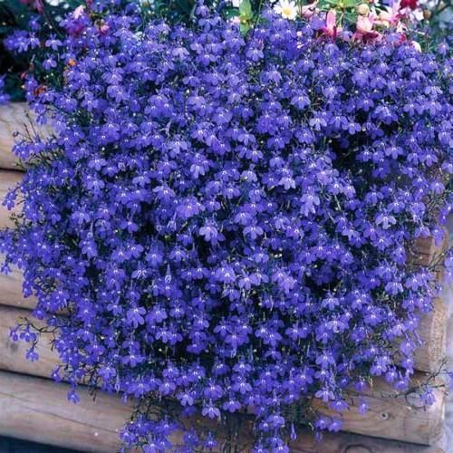 ампельные цветы для кашпо свисающие