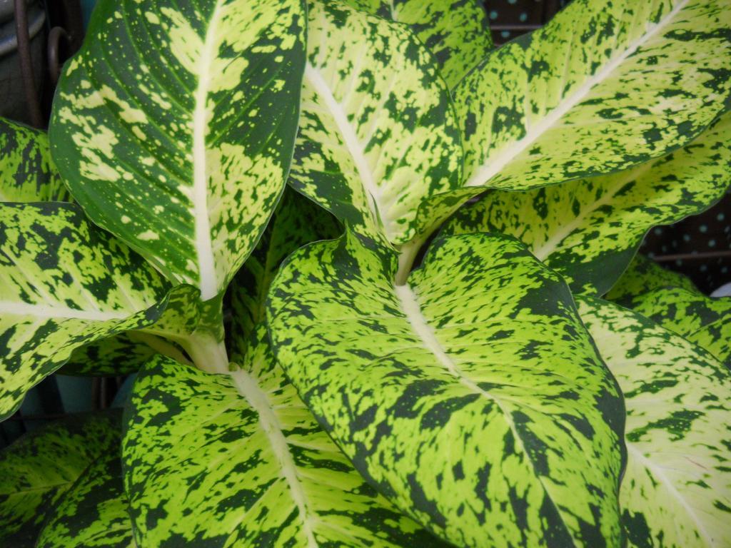 Пестрые листья диффенбахии