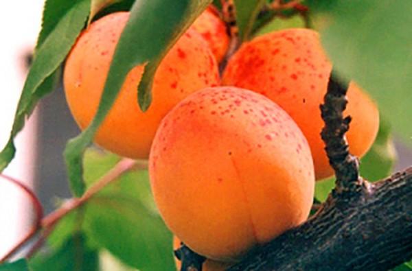 Сорт абрикоса Снегирек