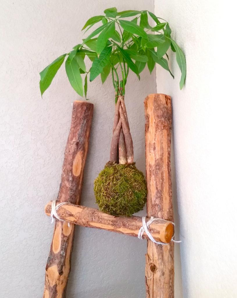 денежное дерево кокедама