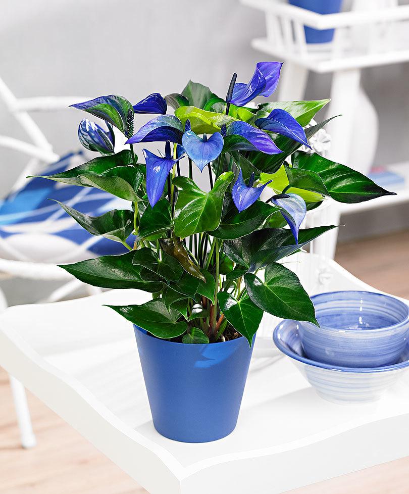 растение в синем горшке
