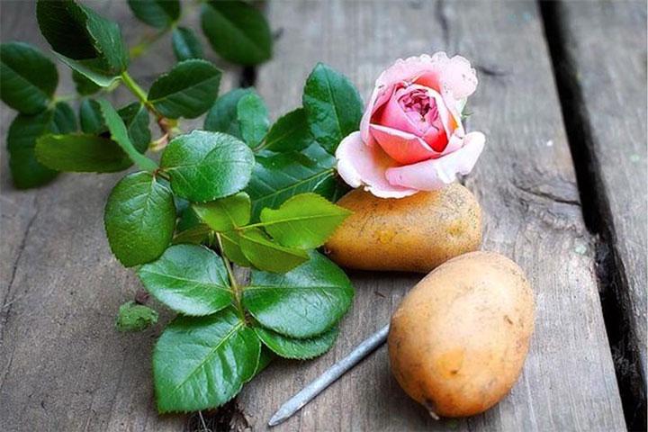 Выращивание роз из черенков из букета