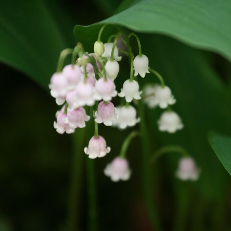 Ландыш цветок