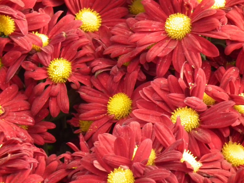 Красная хризантема с желтой серединой.