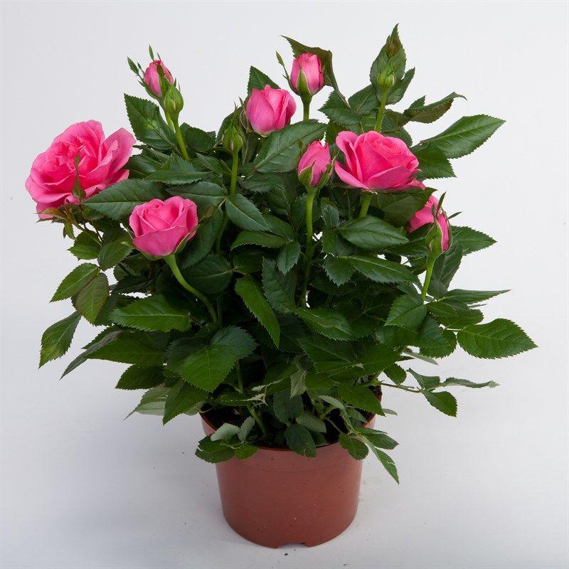 Роза кордана микс в открытом грунте