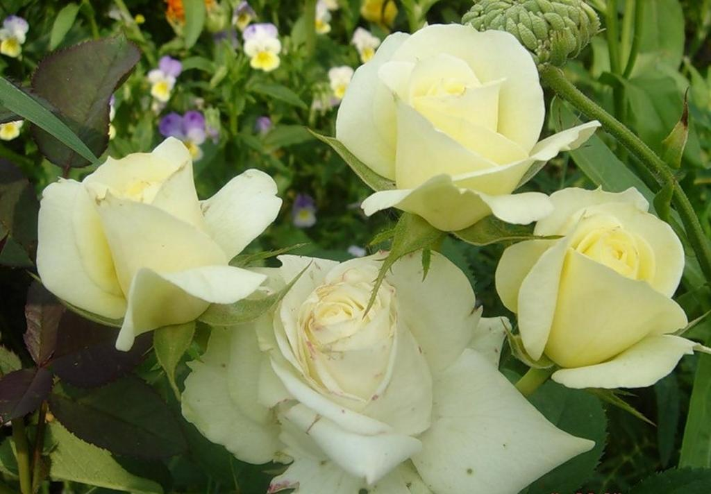 бутоны розы Кордана