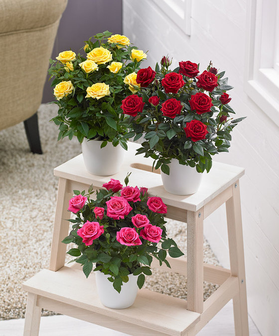 роза кордана в горшке полив