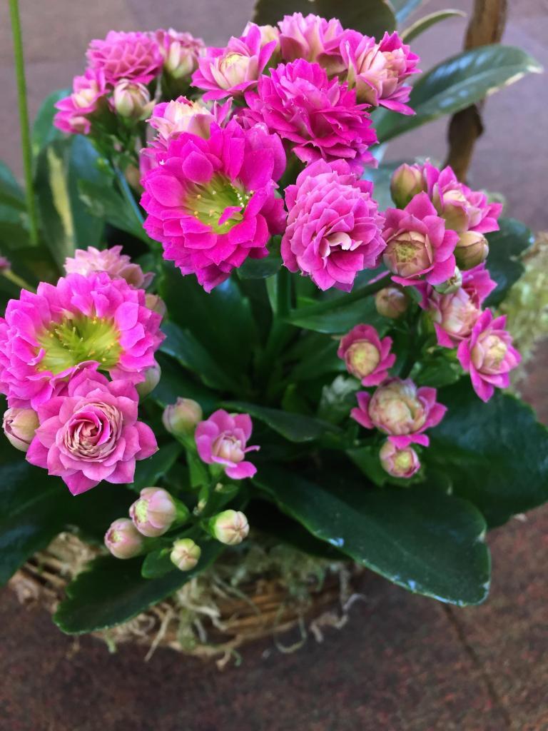 Цветение каланхоэ