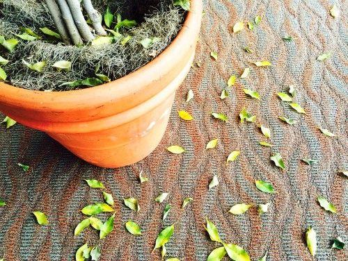 опадают листья у фикуса бенджамина что делать