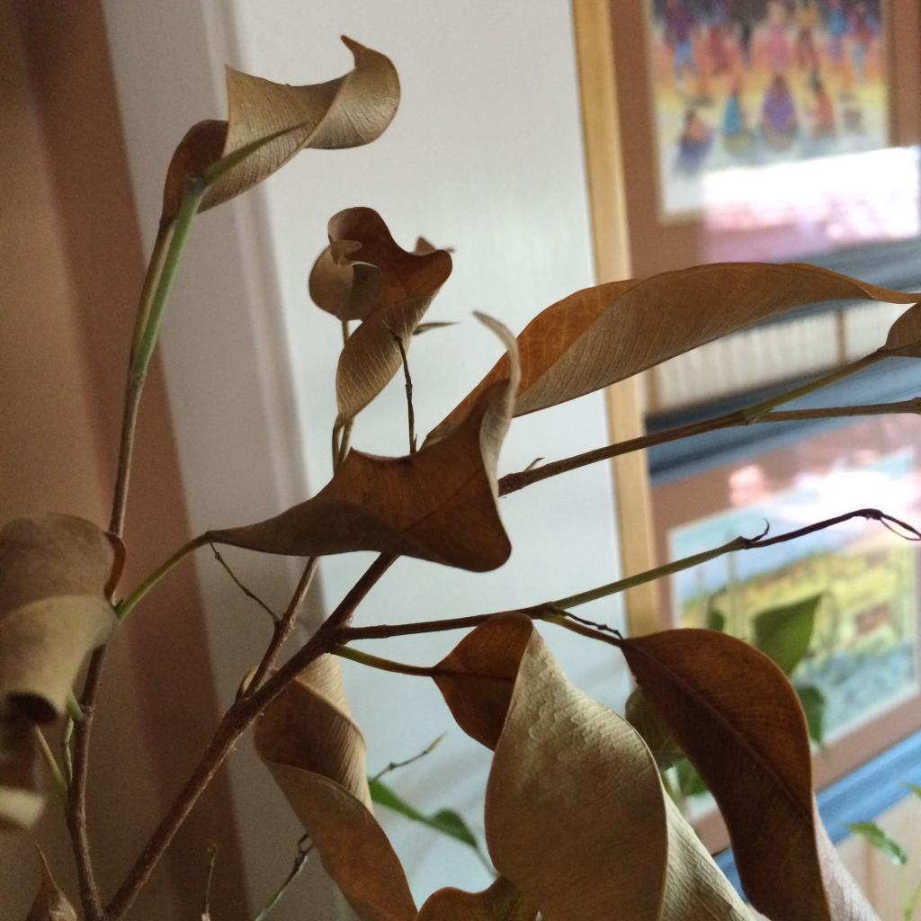 фикус бенджамина скидывает листья почему